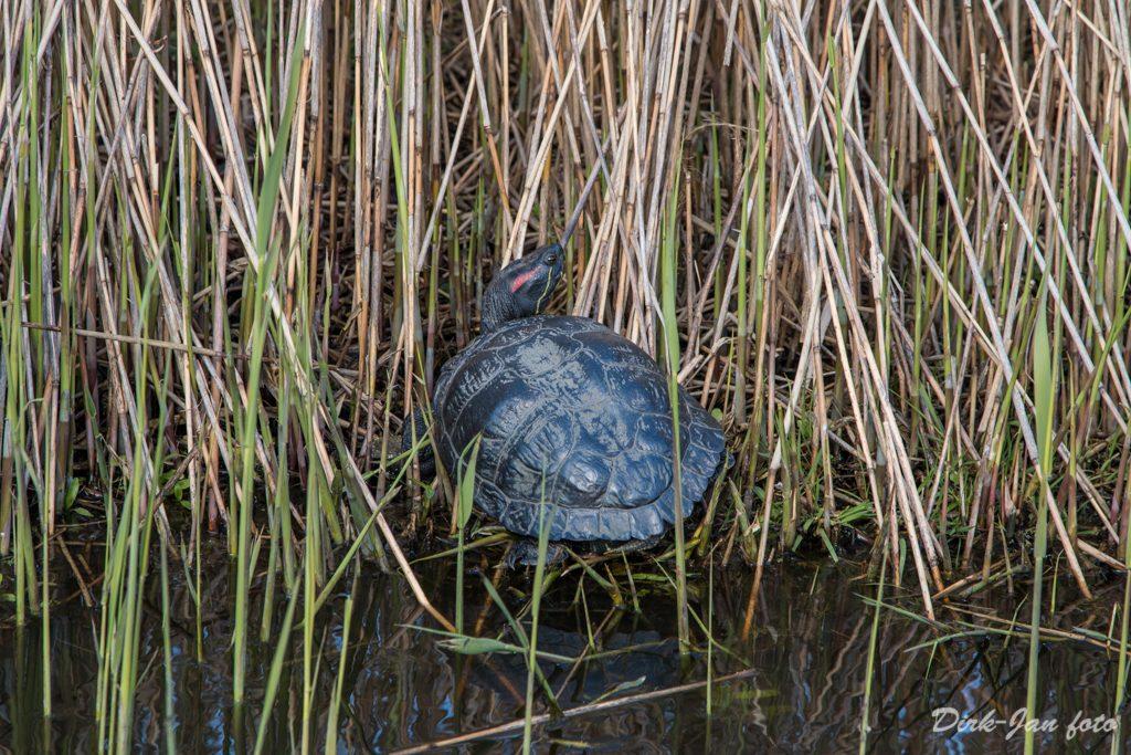 Schildpad in Edam